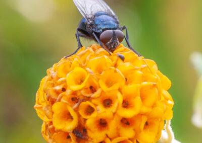 Calliphora vomitoria (Bluebottle), a species of blow fly