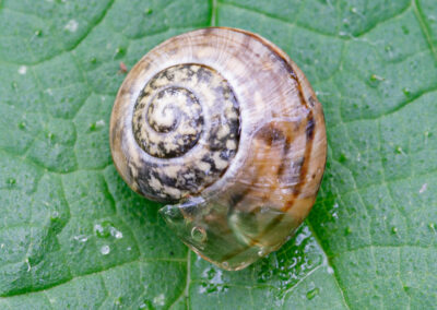 Cepaea sp. in the family Helicidae