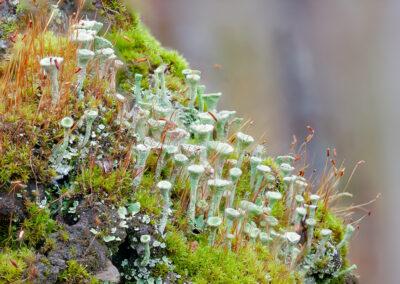 Podetia of Cladonia fimbriata