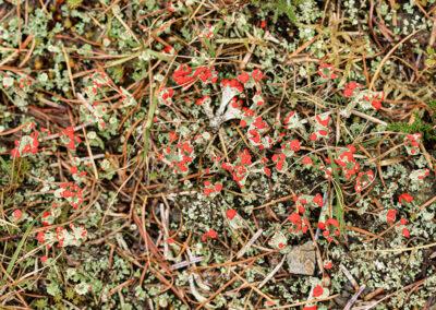 Cladonia sp. on ground