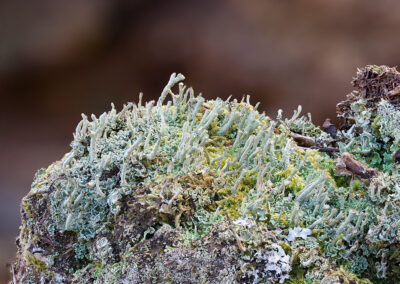Cladonia sp. and mosses on fence post in Glandernol garden
