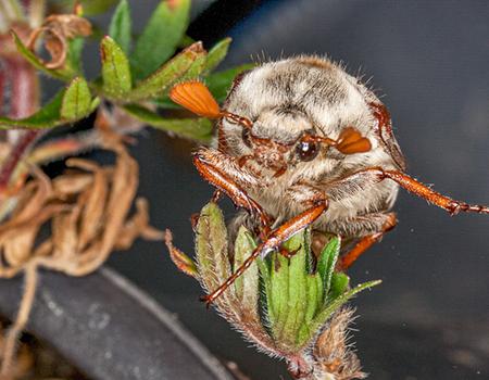 link to Beetles & True Bugs