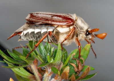 Cockchafer (Melolontha melolontha), a member of the Scarabaeidae family