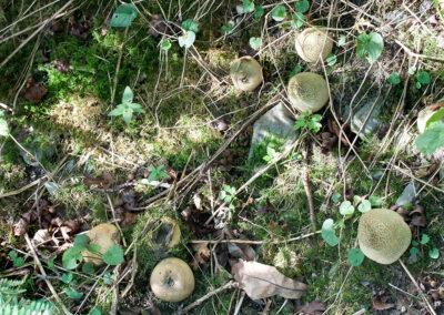 Scleroderma citrinum (Common Earthball)