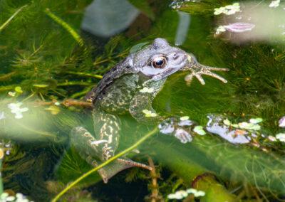 Common Frog (Rana temporaria) in Glandernol garden pond