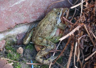 Common Frogs (Rana temporaria) mating