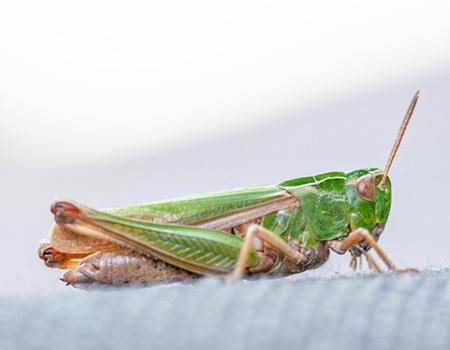 link to Grasshoppers, Earwigs & Stoneflies