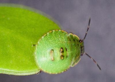 Common Green Shieldbug (Palomena prasina) - 3rd. instar nymph