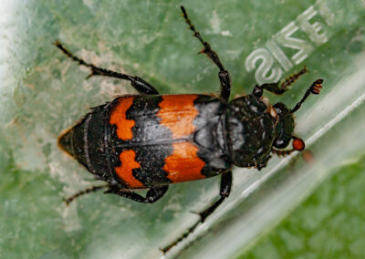 Common Sexton Beetle (Nicrophorus vespilloides), a burying beetle
