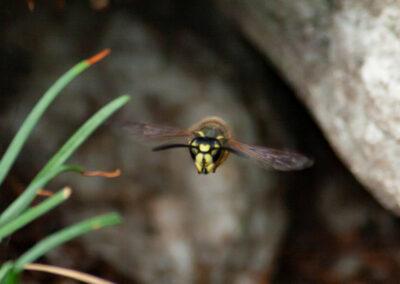 Common Wasp (Vespula vulgaris) leaving its nest under a rock in Glandernol garden