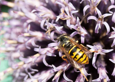 Common Wasp (Vespula vulgaris) on Echinops