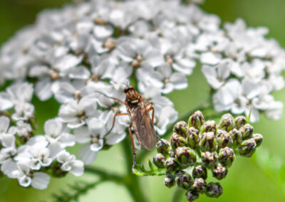 Empis livida, a dance fly in the Empididae family