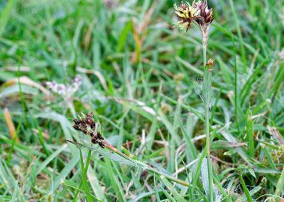 Field Woodrush (Lazula campestris) in Glandernol garden
