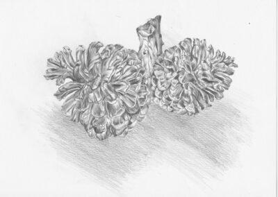 drawing of Fir Cones