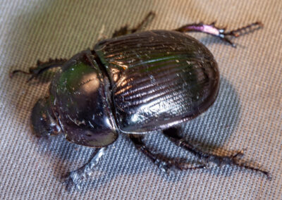 Geotrupes spiniger, an earth-boring dung beetle