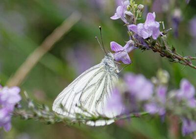 Green-veined White (Pieris napi) ♂. Larvae feed on : wild plants of the cabbage family, such as bitter-cresses, lady's smock, horseradish, occasionally garden brassicas.