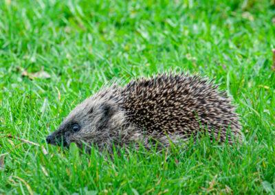 Hedgehog (Erinaceus europaeus)