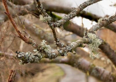 Various lichens on Cherry tree in Glandernol garden