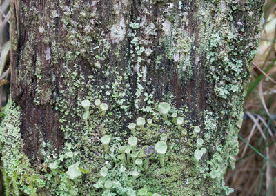 Cladonia sp. on fence post