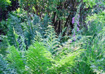 Ferns in Glandernol garden