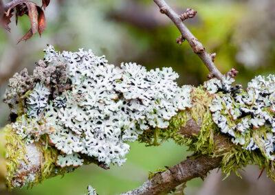 Lichen on Cherry tree in Glandernol garden