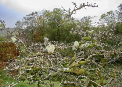 Various lichens on Hawthorn tree