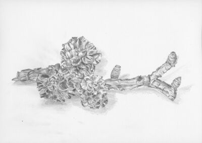 drawing of Larch Cones