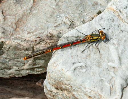 link to Dragonflies, Damselflies & Mayflies
