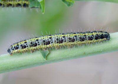 Large White (Pieris brassicae) larva. Larvae feed on : nasturtiums, cultivated and wild brassicas, such as cabbage, rape.