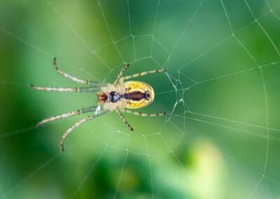 Lesser Garden Spider (Metellina segmentata)