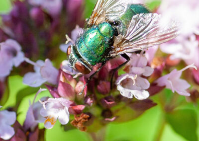 Lucilia sp. ('Greenbottle'), a blow fly. The name 'Greenbottle' is a general name covering several species of fly.