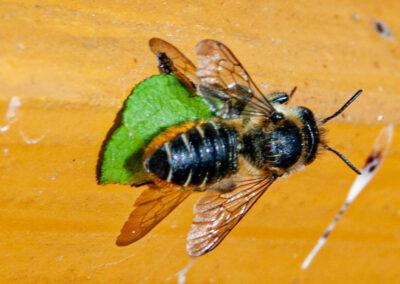 Megachile centuncularis ♀, a leaf-cutter bee.
