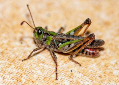 Mottled Grasshopper (Myrmeleotettix maculatus)