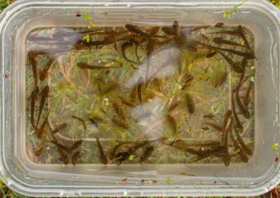 Palmate Newt (Lissotriton helveticus) larvae and Water Slaters from Glandernol garden pond
