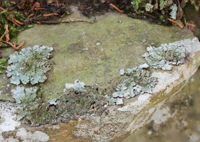 Parmelia saxatilis on rock in Glandernol garden wall