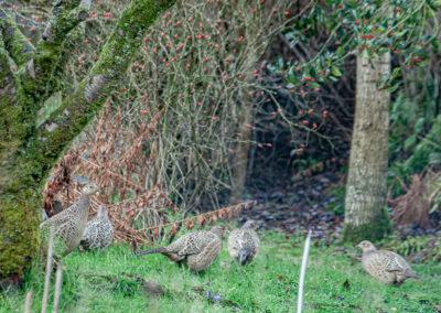 Pheasant (Phasianus colchicus) ♀