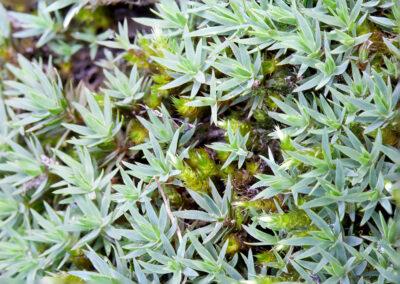 Pogonatum urnigerum (Urn Haircap) growing on rock in River Wye