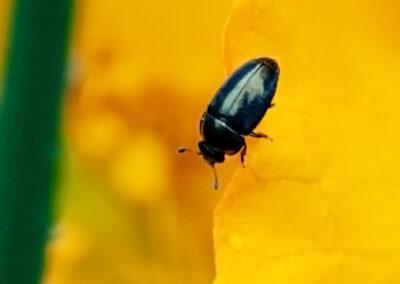 Pollen Beetle (Meligethes sp.)