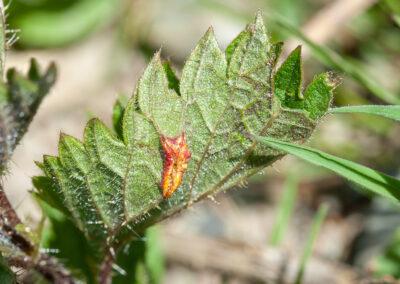 Puccinia urticata