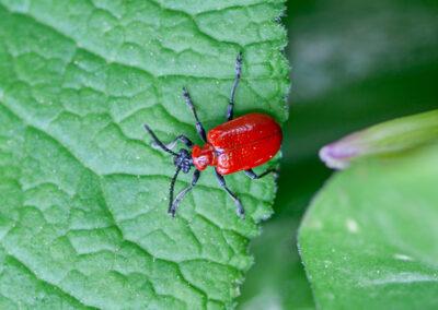 Red Lily Beetle (Lilioceris lilii)