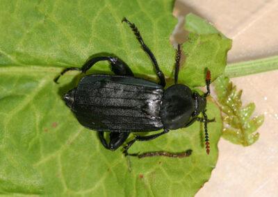 Shore Sexton Beetle (Necrodes littoralis)