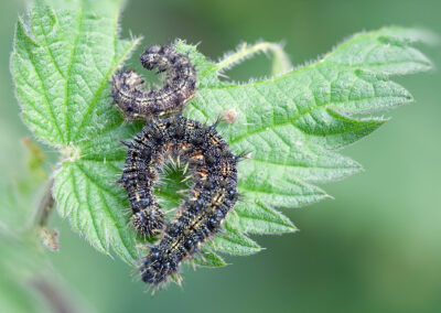 Small Tortoiseshell (Aglais urticae) larvae. Larvae feed on : nettles