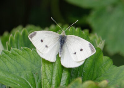Small White (Pieris rapae). Larvae feed on : nasturtiums, cultivated and wild brassicas, such as cabbage, rape.