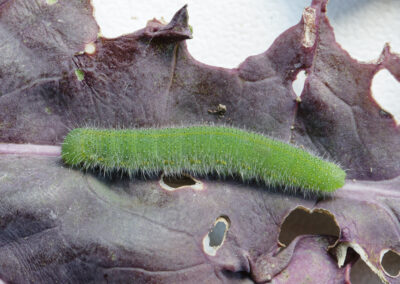 Small White (Pieris rapae) larva. Larvae feed on : nasturtiums, cultivated and wild brassicas, such as cabbage, rape.