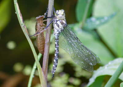 Southern Hawker (Aeshna cyanea) teneral with exuvia