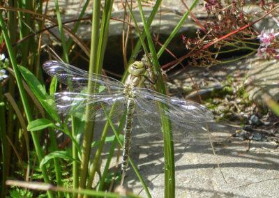 Southern Hawker (Aeshna cyanea) teneral