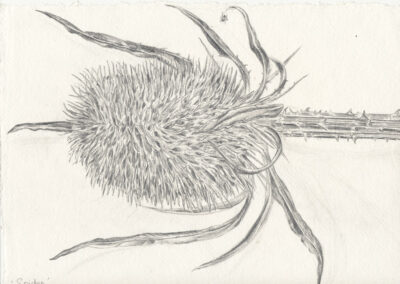 drawing of Spider on Teasel