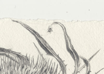 detail of drawing of Spider on Teasel