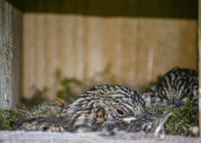 Spotted Flycatcher (Muscicapa striata) chicks in nestbox in Glandernol garden