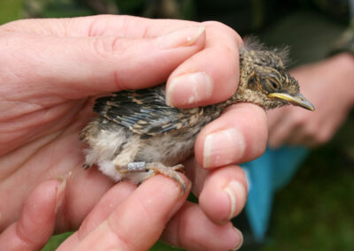 Spotted Flycatcher (Muscicapa striata) from nestbox in Glandernol garden, just ringed by a licensed ringer.